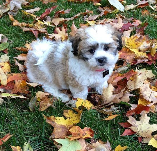 Phoebe (fkaShania) Morkie puppies, Goldendoodle, Puppies