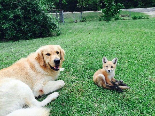 Golden Retriever And Red Fox Golden Retriever Dogs Retriever