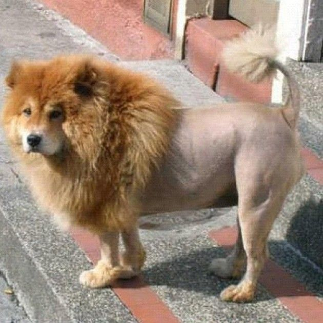 Some People Do This To Make Their Dogs Look Like Lions Dogs