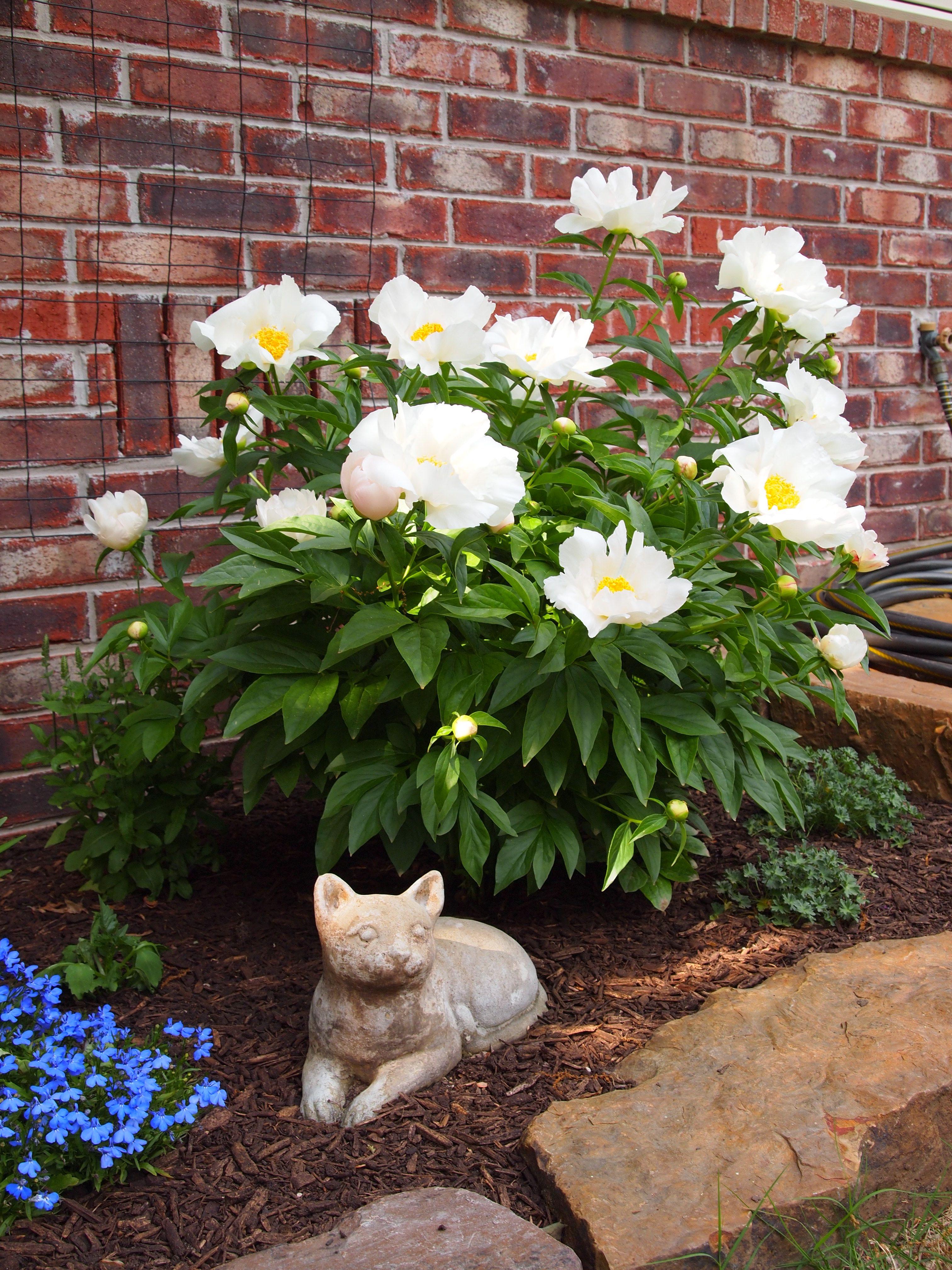 White peony with cat statuary