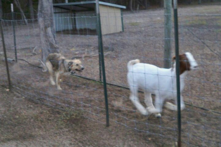 Track Dog 1 2 Border Collie 1 2 Kelpie Dusty Working Running A
