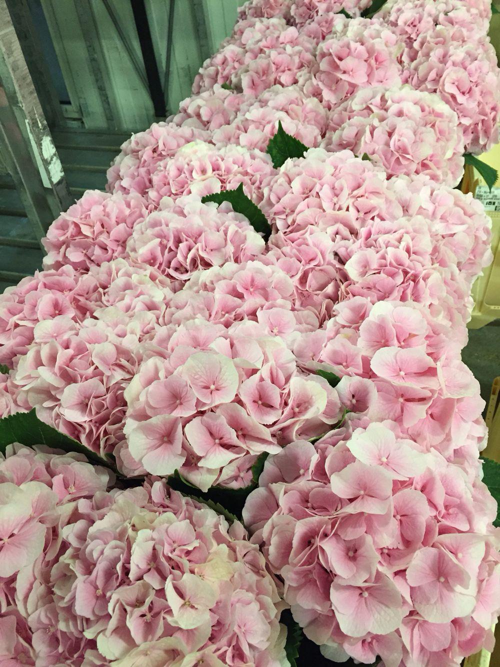 Hydrangea Verena Pale Pink At Flowervision Brollop