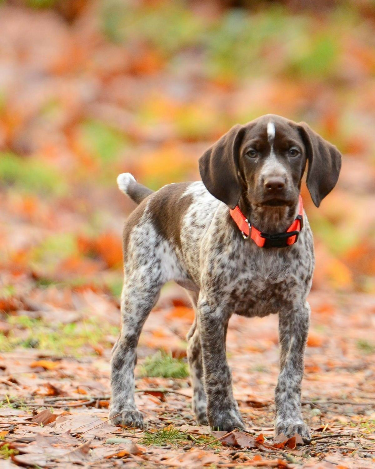 Pin By Adam Acs On German Shorthaired Pointer Gsp Dogs German Shorthaired Pointer Dog Pointer Puppies