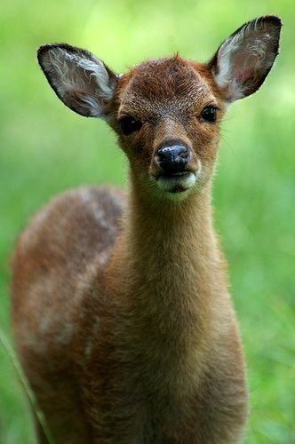 A Gazing Fawn By Photo Mate Kitt Animals Fawn Deer