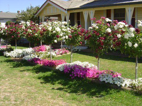 Iceberg Roses And Lavender Front Yard Garden Garden Landscaping