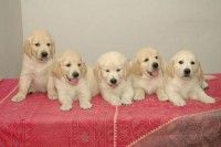 Golden Retriever Puppies For Sale In Jaipur And Price Golden