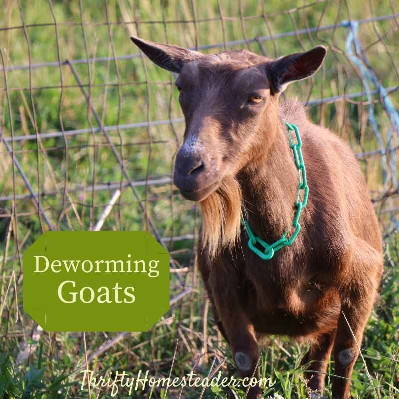 Deworming goats the thrifty homesteader goats goat