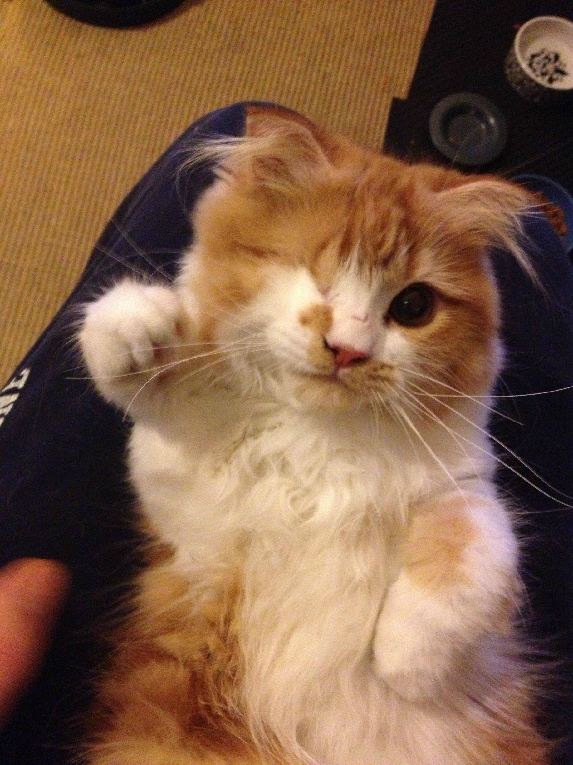 My 1 Eyed Scottish Fold Kitten Would Like To Say Hello To Reddit Meet Scallywag Cute Animals Cats And Kittens Kittens