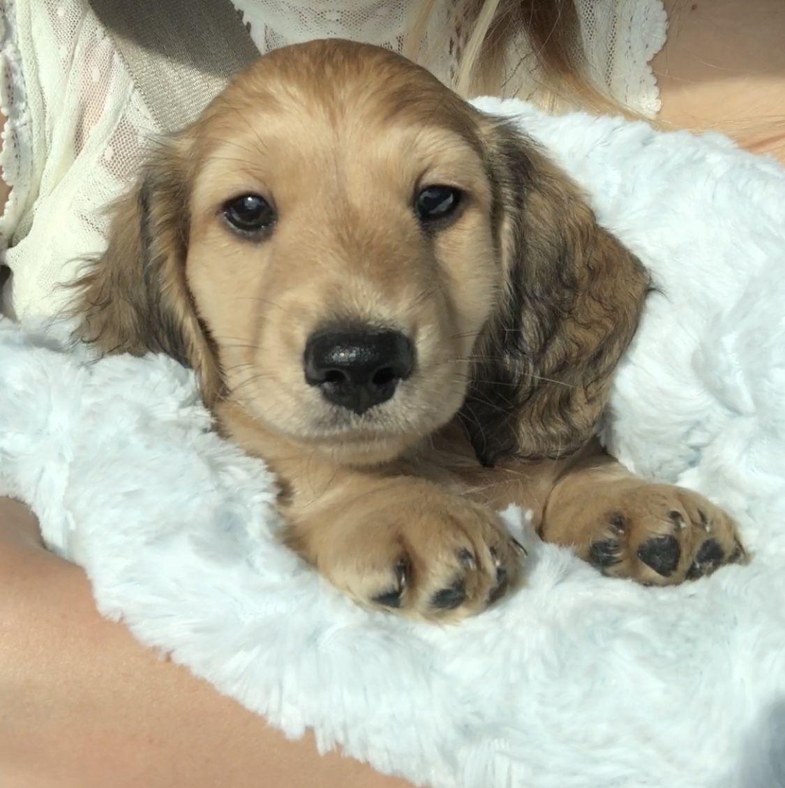 Long haired mini dachshund Shaded cream boy