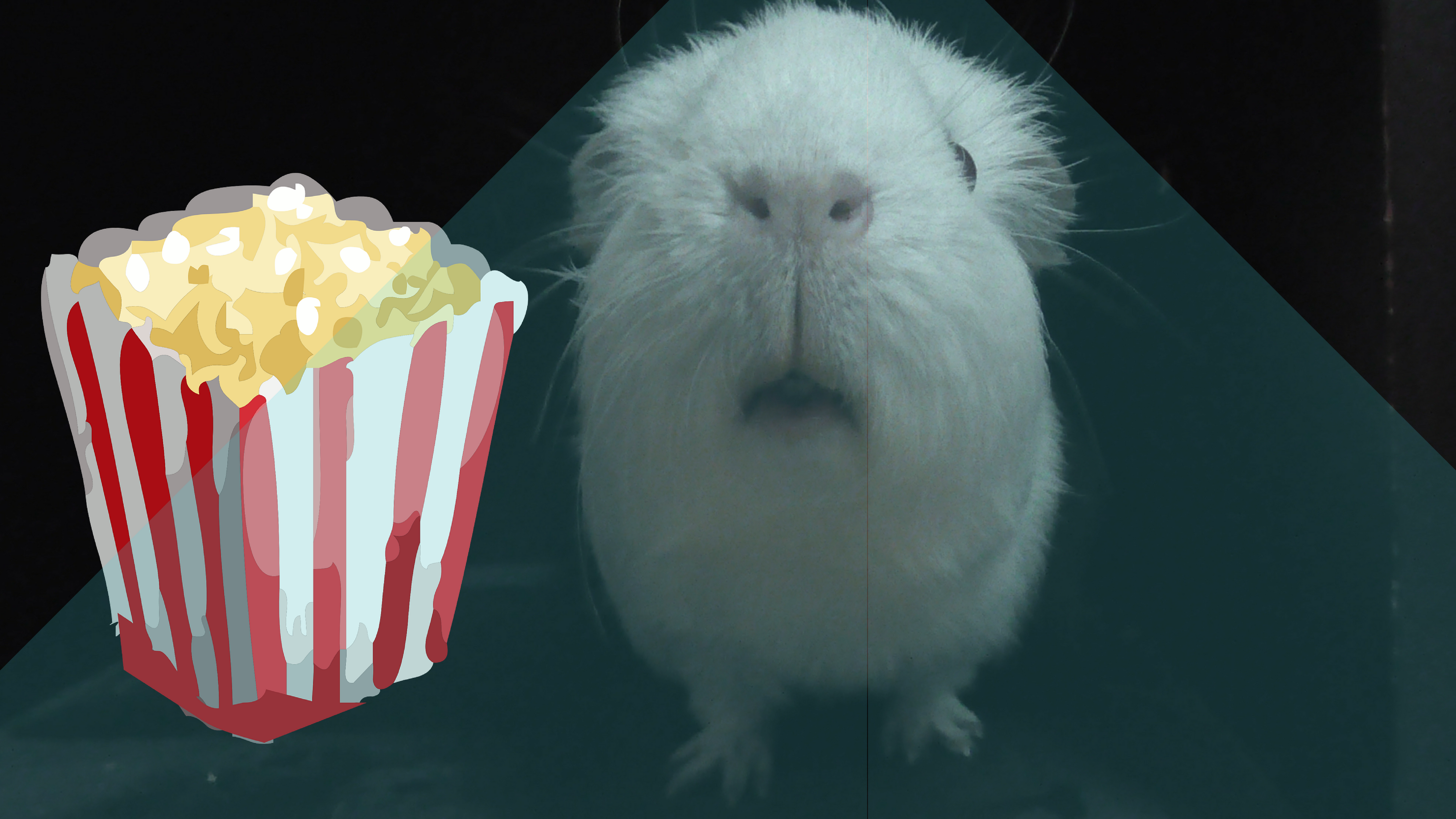 Movie Guineapig After A Hard Days Eating Its Always Good To Sit Back And Watch A Film