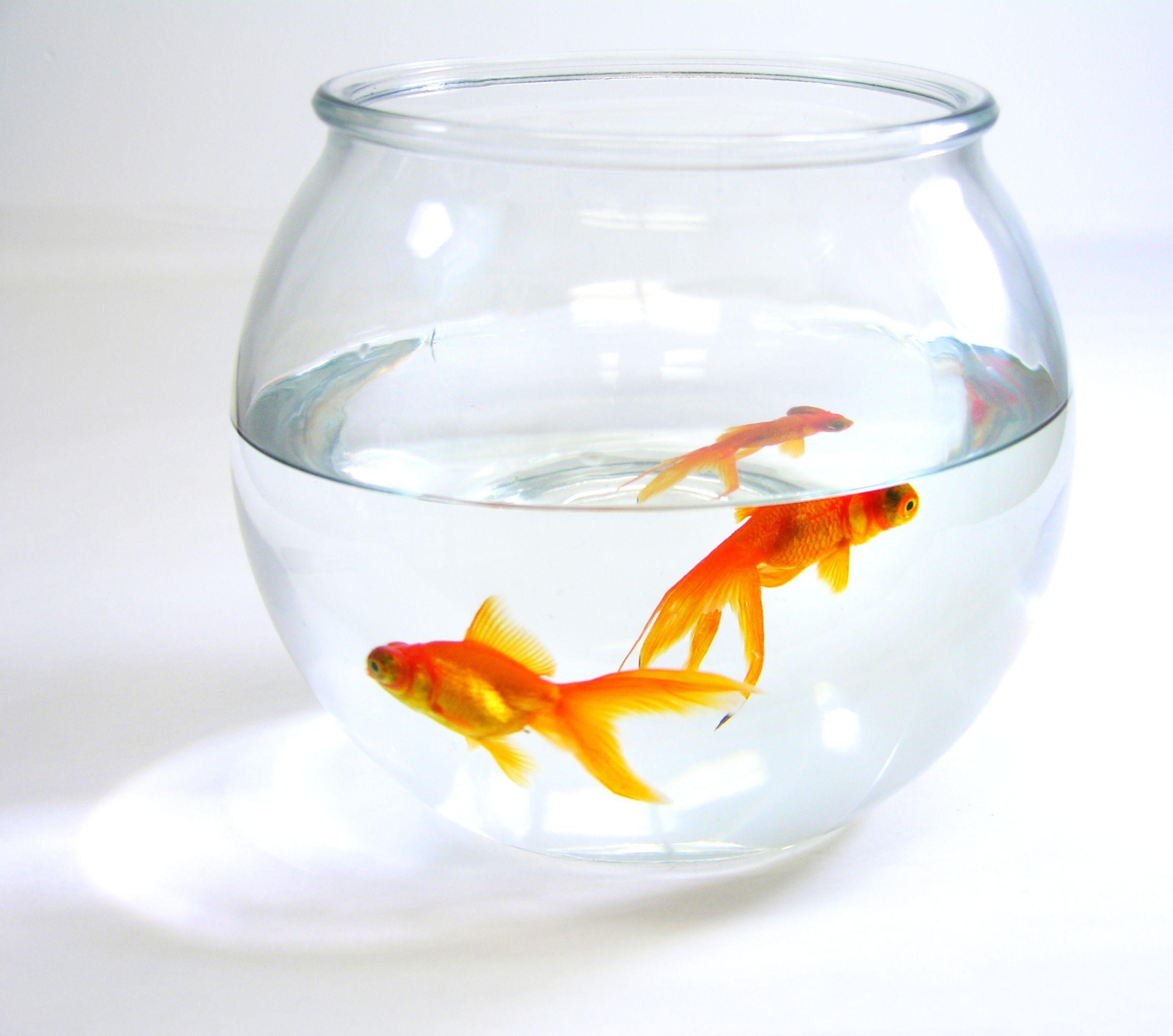 Goldfish   HERMES   Pinterest   Goldfish and House