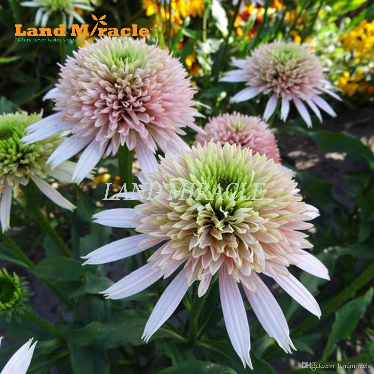 Flower Seeds 50 Seeds Indian Guardian Of God Echinacea Purpurea Seed Coneflower Bonsai Seed Flower Seeds Echinacea Flowers Perennials