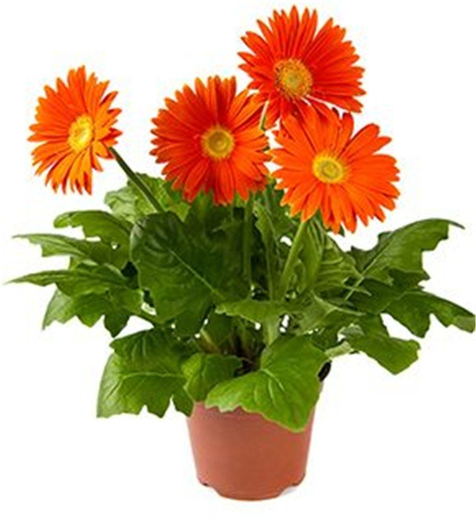 Florida Gardeners Are Lucky Enough To Grow And Enjoy Gerbera Daisies Nearly Year Round May Gerberadaisy Flowers Gerbera Daisy Gerbera Gerbera Plant
