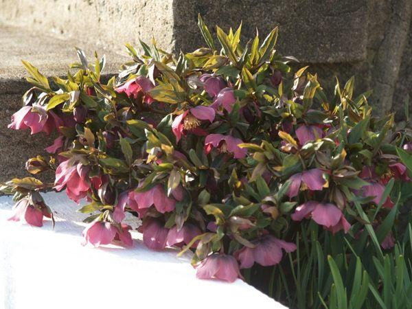 Helleborus. Photo: 2009-04-09