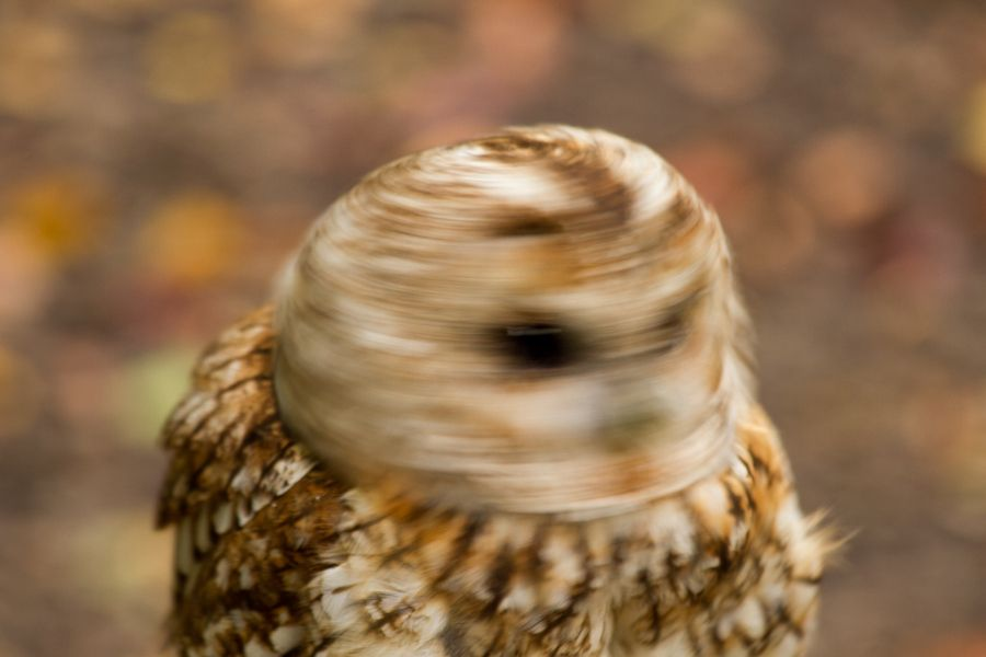 "Mr. Swizzle Head, by Peter Dolyle. ""A not very helpful Tawny Owl"""