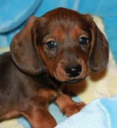 Mini Dachshunds I Will Have One When I Own A House Dachshund