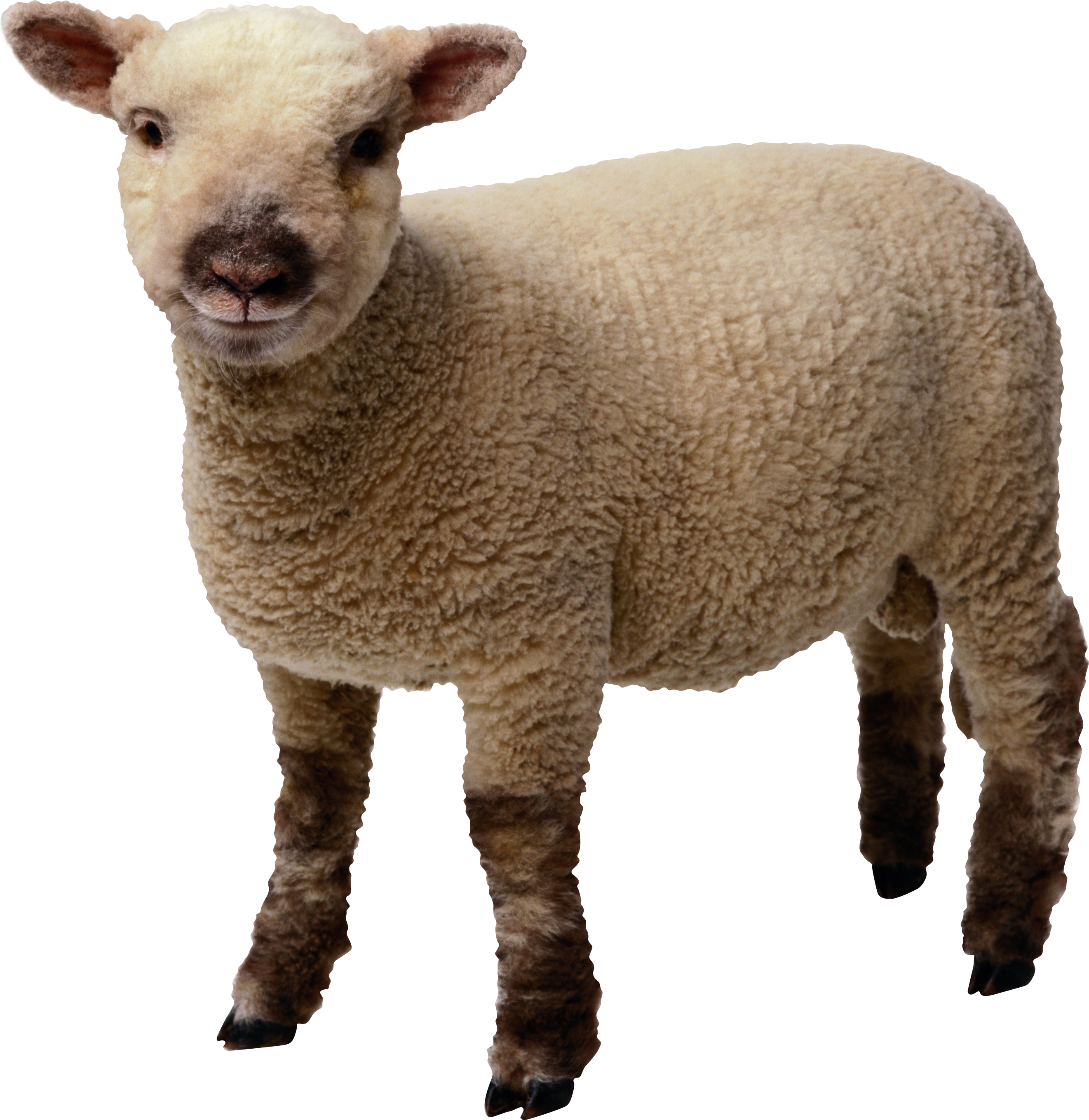 Little Sheep Png Animal Png Pinterest