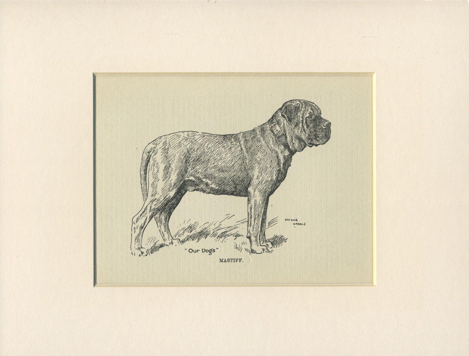 MASTIFF OLD ANTIQUE 1912 DOG PRINT by ARTHUR WARDLE READY MOUNTED