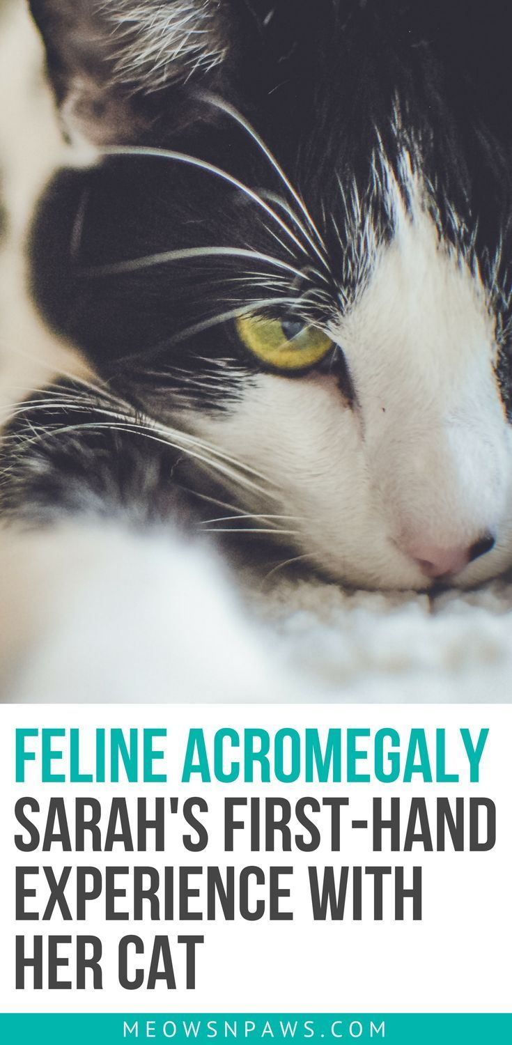 Feline Acromegaly Sarah's FirstHand Experience With Her
