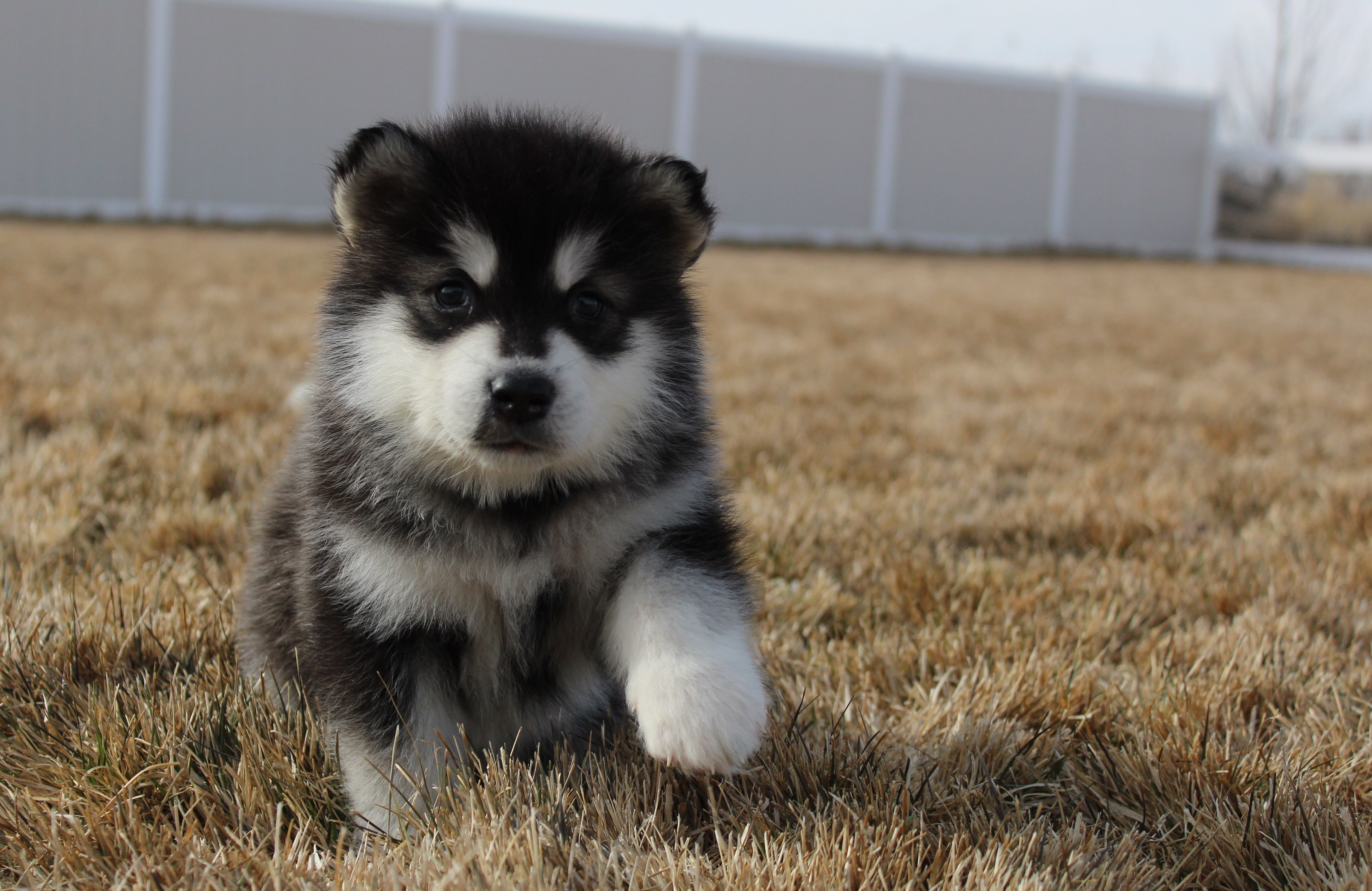 Black And White Malamute Puppy Malamute Malamutepuppy