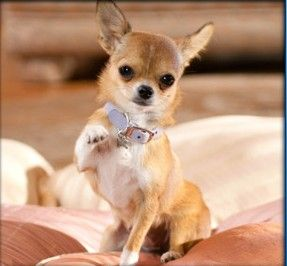 View Topic Aye Chihuahua Beverly Hills Chihuahua 2 Rp Accepting