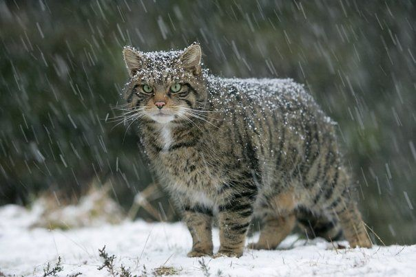 Scottish Wildcat: endangered) Highland Tiger in the Snow | Wild ...
