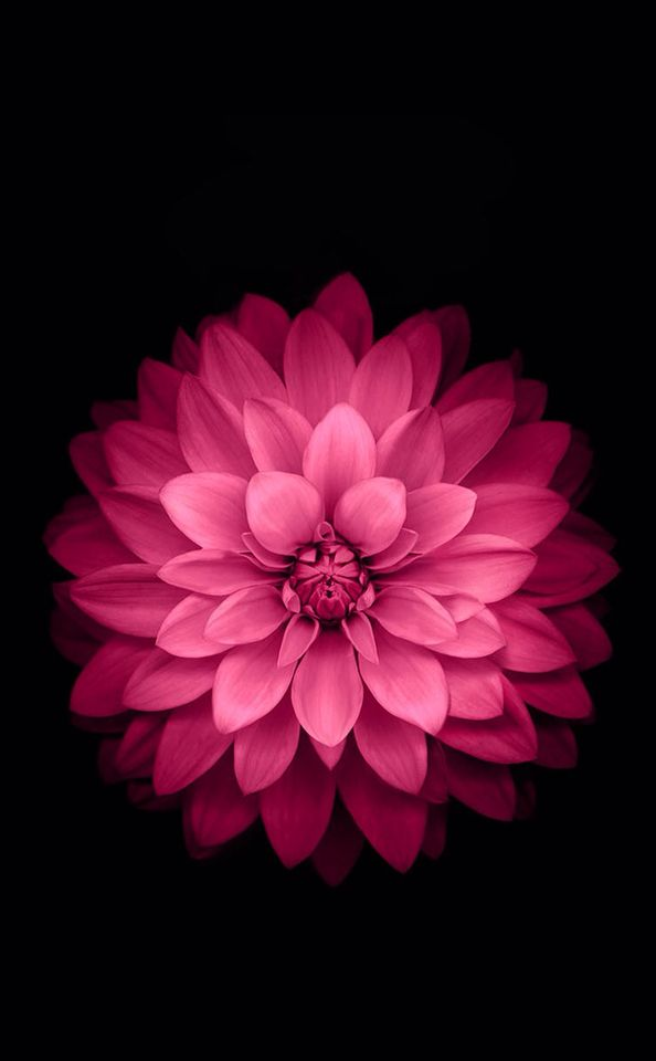Dahlia Sur Noir Flower Iphone Wallpaper Retina Wallpaper Ios Wallpapers