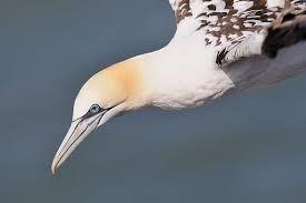Image result for gannet diving
