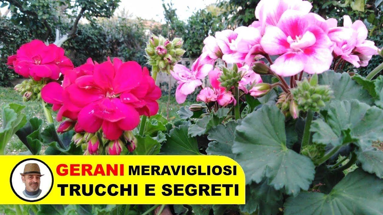 Orchidee Meravigliose Trucchi E Segreti coltivare i gerani trucchi e segreti - youtube | gerani