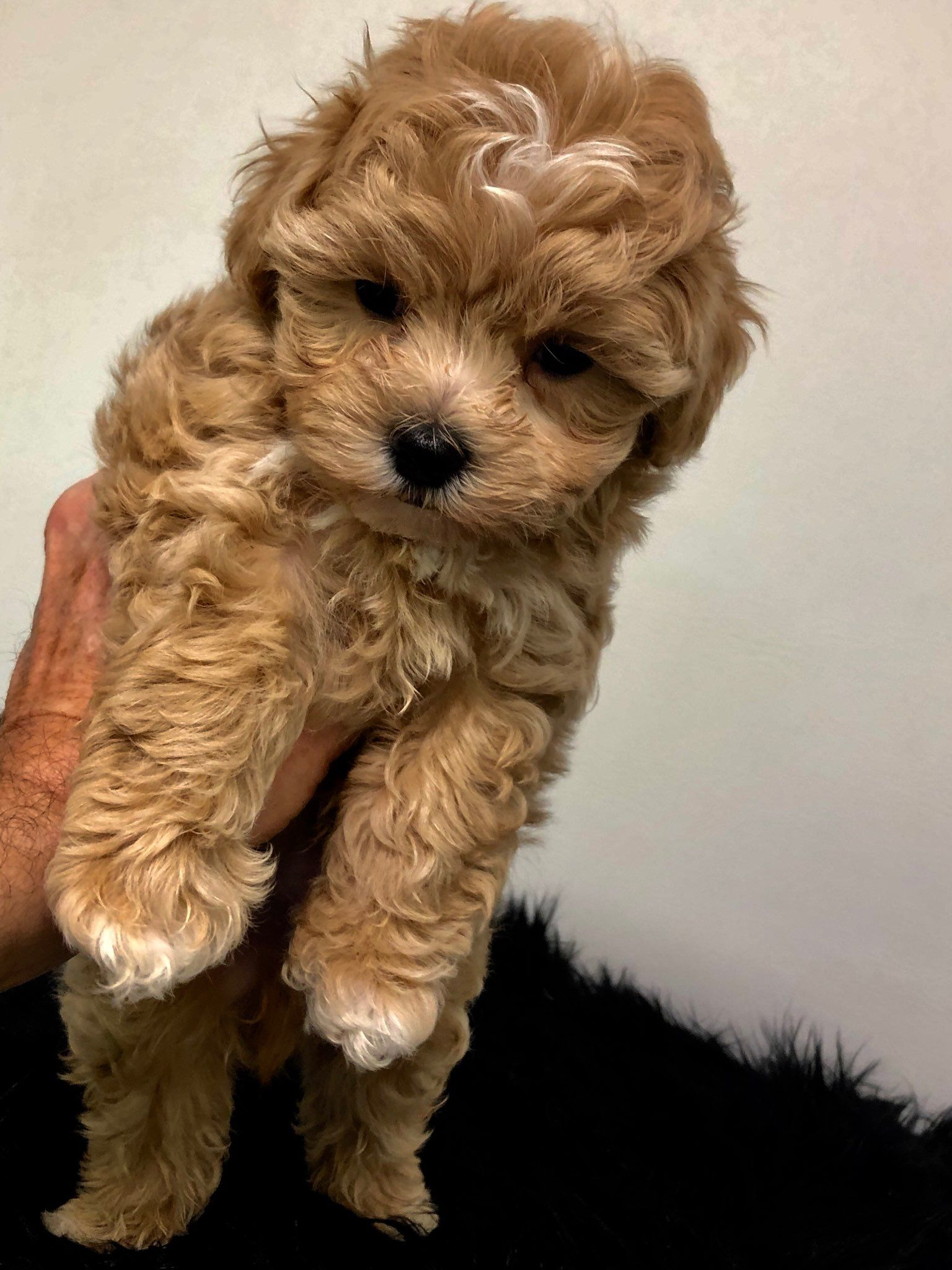 Available Hollywood Puppy Palace In 2020 Teddy Bear Puppies Cute Baby Animals Teddy Bear Dog