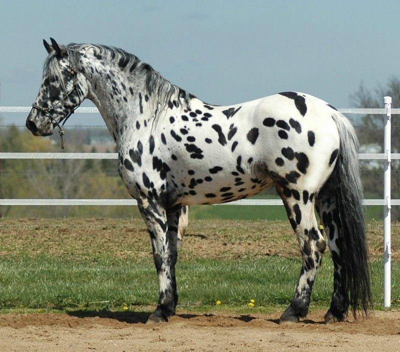 Legendary Design Stallion | Appaloosa-Stallion Donation Services
