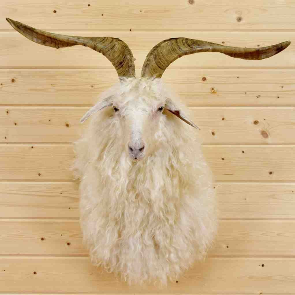 Angora Goat Taxidermy Mount - SW4368 | Exotic Taxidermy
