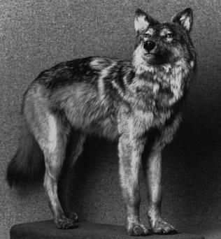 Newfoundland wolf (Canis lupus beothucus) was a possible subspecies of gray wolf native to Newfoundland. It was described as being a medium-sized, slender-skulled wolf with a white pelt, though melanists also occurred. The last specimen was reportedly killed in 1911.