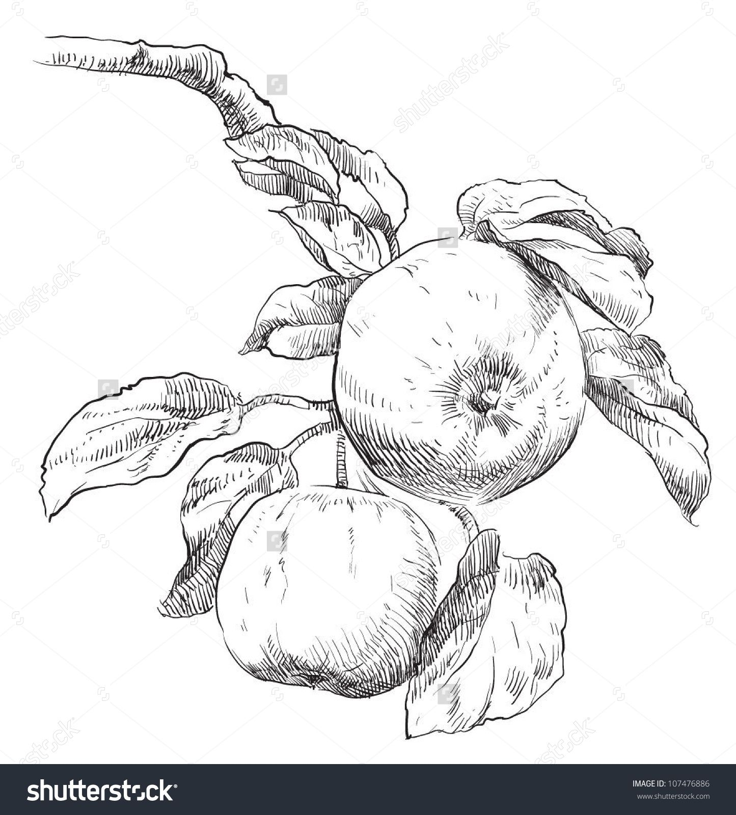 Hand Drawing Apples On Apple Tree Branch Stock Vector Illustration