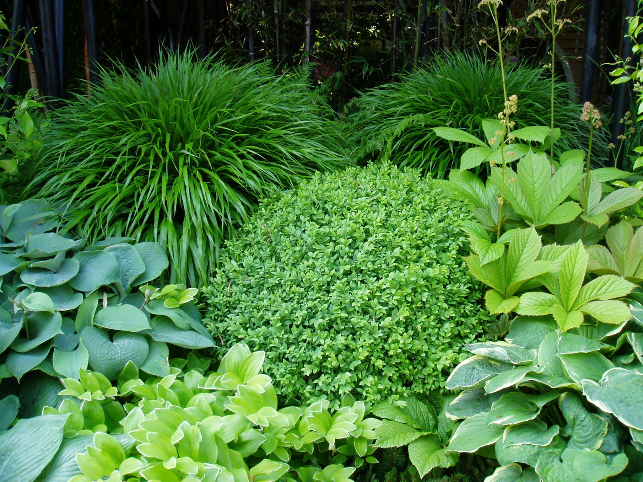 garden design greenery // hosta, soloman's seal, rodgersia, boxwood orb and japanese forest grass