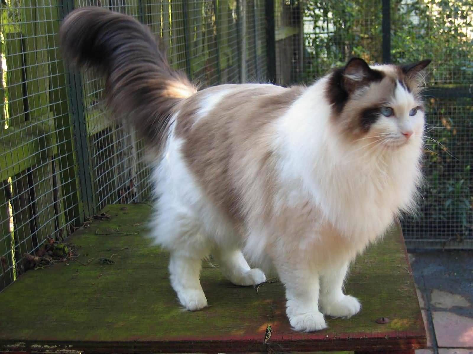 Found On Bing From Www Golfian Com Ragdoll Cat Cute Cats And