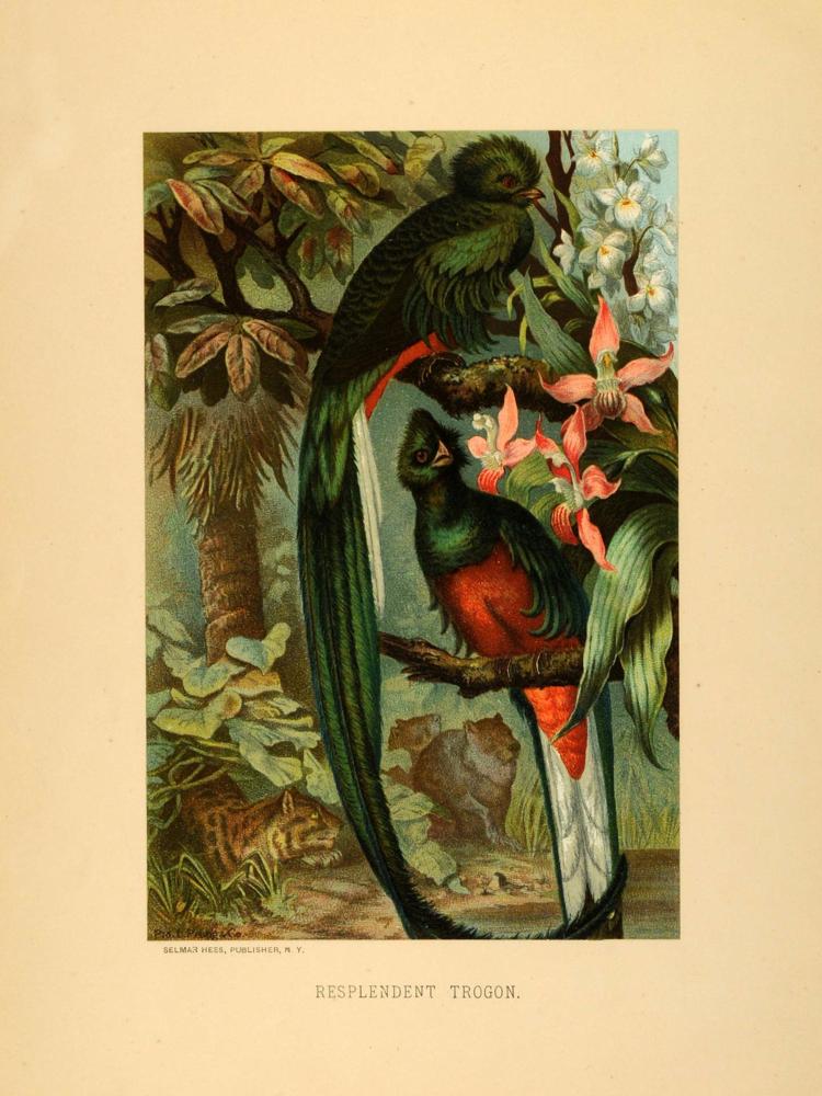 Resplendent Quetzal (1885)