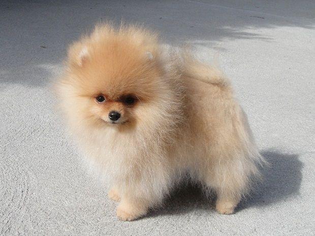 Pomeranian Puppies For Sale In Ny Cute Puppies Perros Pomerania Mascotas Bonitas Razas De Perros