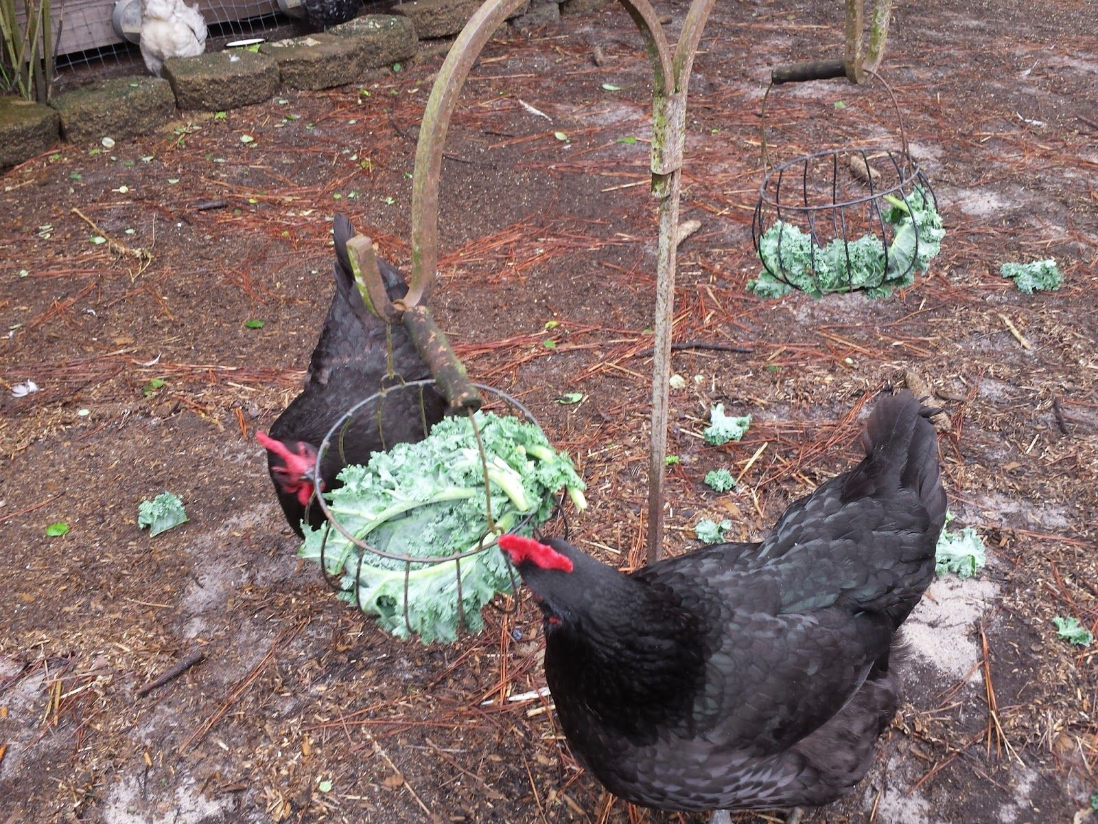 hang treats in baskets for your chickens winter crops such as