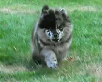 Playing Blue Merle Chow Roxy Dog Mixes Chow Chow Dogs Doggy
