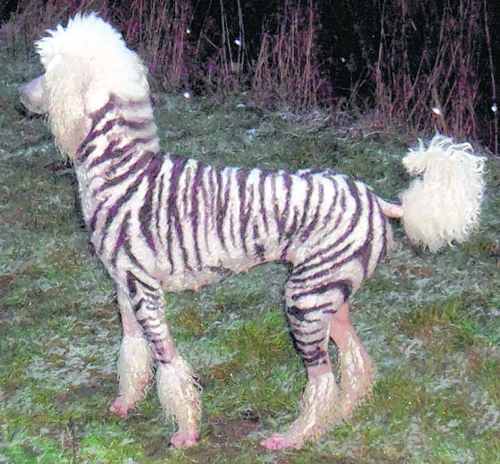 zebra. (Can't decide if this is funny or mean... Think I'm going with funny!   BMD)