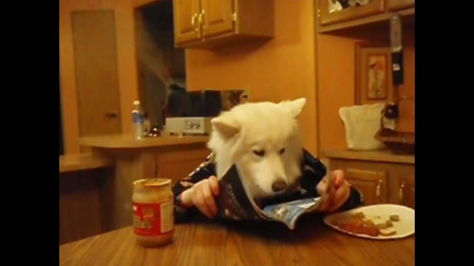 Samoyed Eats At Table Dog With Human Hands Samoyed Dog Eating Dogs