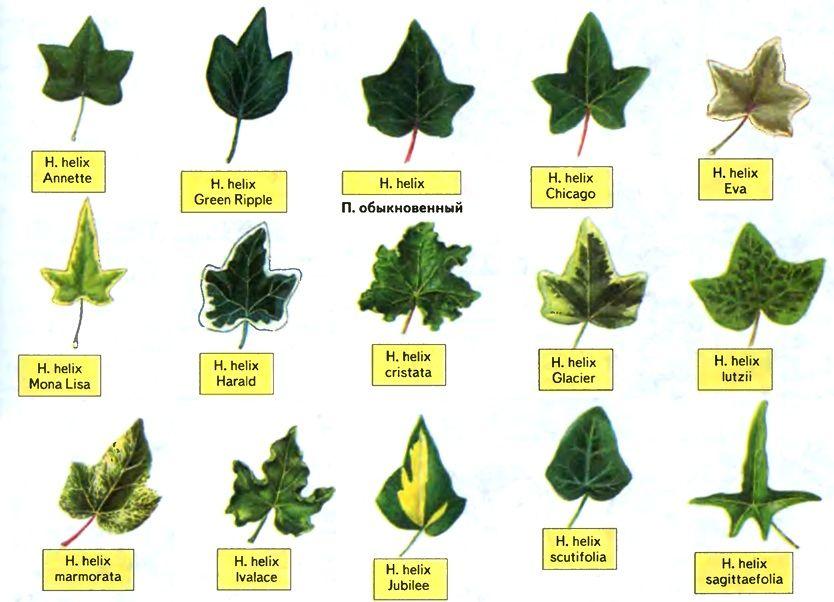 Kinds Of Ivy Hedera Plants Ivy Plant Indoor Ivy Plants Ivy