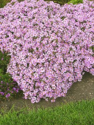 Aster 39 wood 39 s pink 39 perennial zones 5 8 height 12 18 for Perennial wood