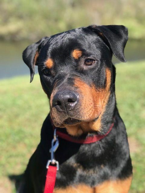 Adopt Macksimo on Rottweiler rescue, Rottweiler dog