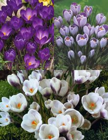8c82696cb Purple   White Crocuses ▫ Jumbo size Crocus. The first sign of spring! For  borders or edging. They perform best in large groups. The color range from  white ...