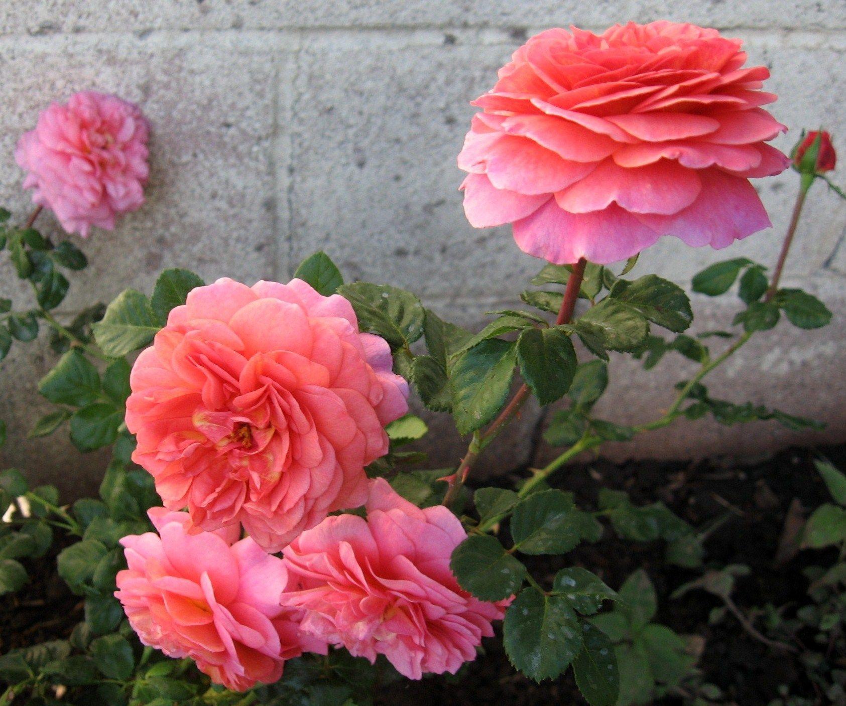 Austin English rose ' Christopher Marlowe'  my garden 2012