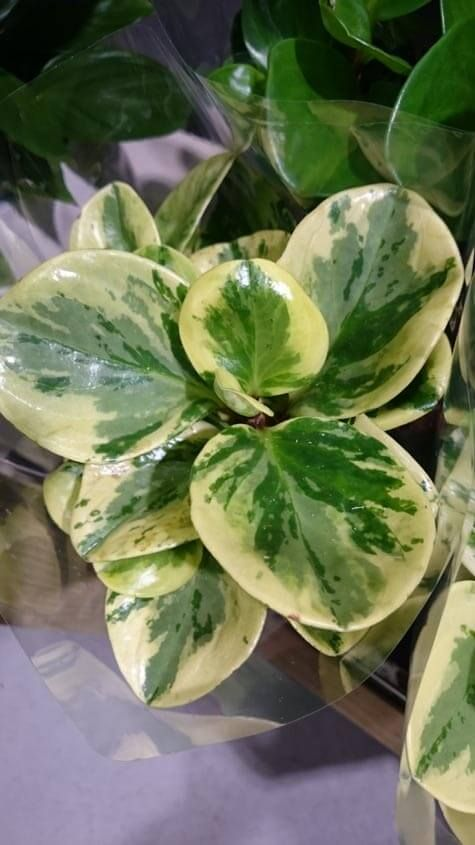 Yellow And Green Variegated Leaf Desert Privet Peperomia Plant