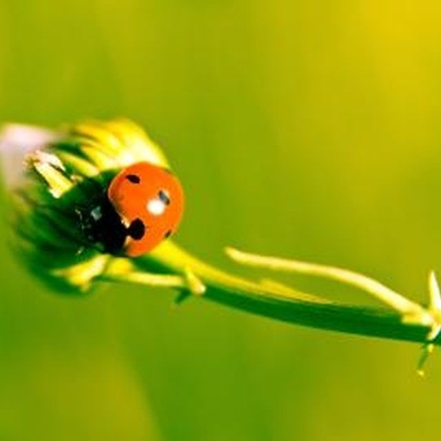 How To Get Rid Of Ladybugs In A House With Lemons Hunker Ladybug House Asian Ladybugs Ladybug