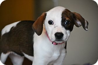 Hagerstown Md Beagle Feist Mix Meet Dahlia A Puppy For
